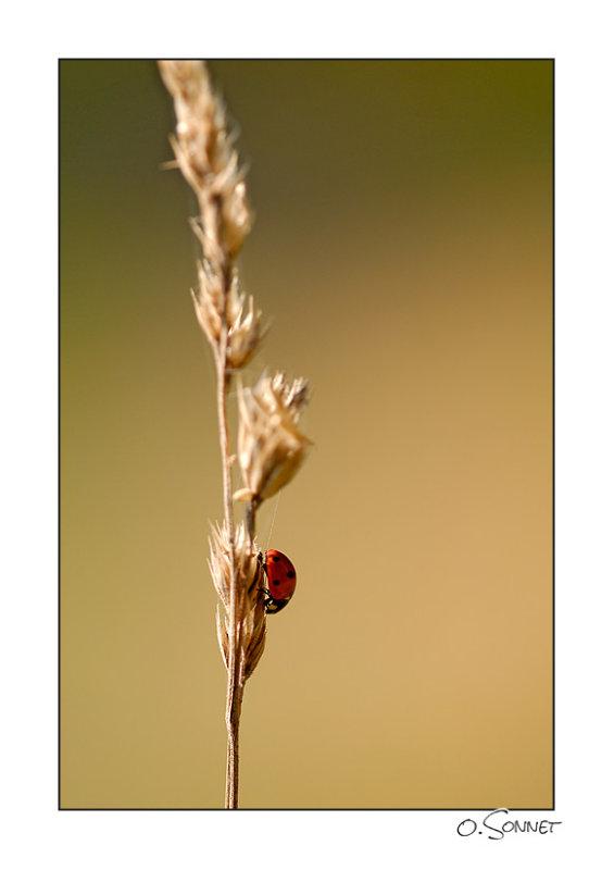 Coccinelle blé.jpg