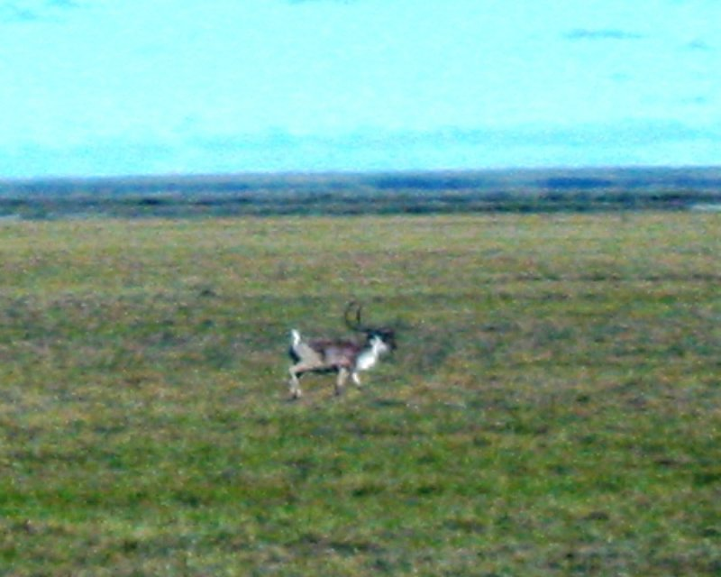 Lone Caribou on the Move