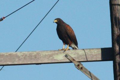 Harriss Hawk, Rayne, LA, 11/2/09