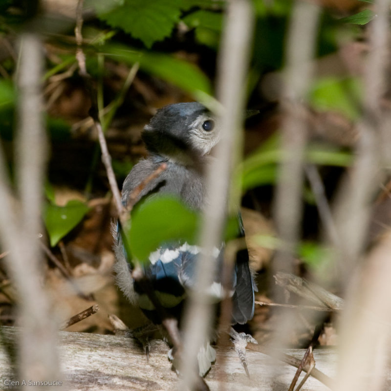 Scared Baby Blue Jay