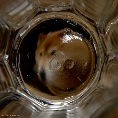 Fox through the drinking glass