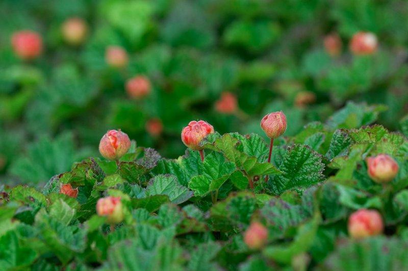 Hjortron - Cloudberries