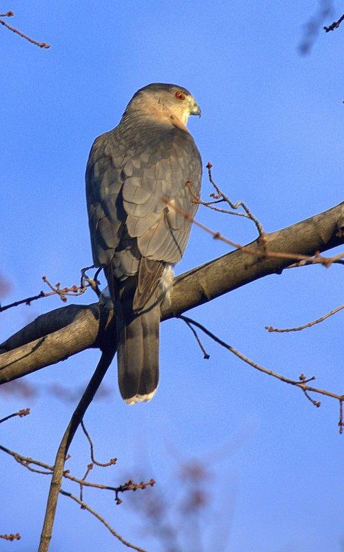 Hawk 4