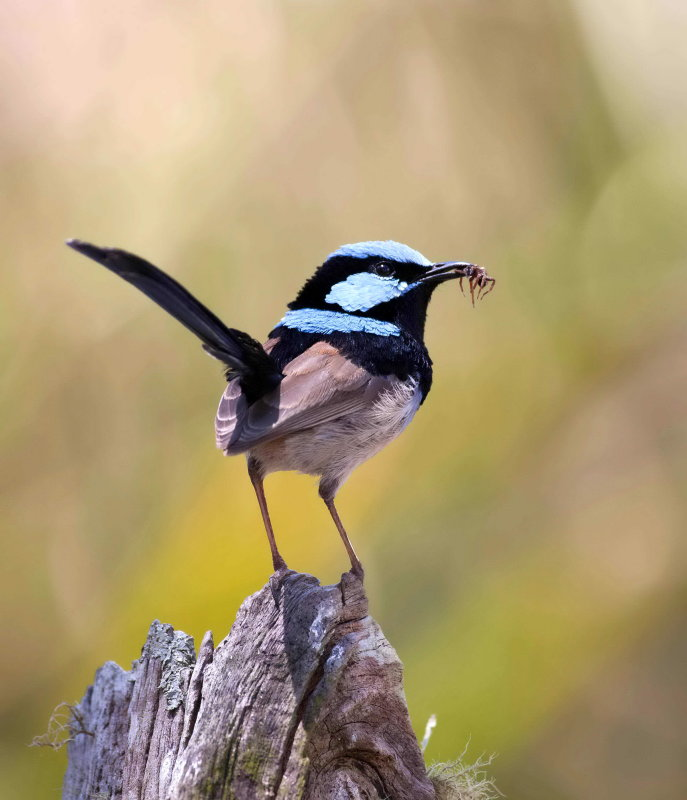 Superb Fairy Wren with Spider
