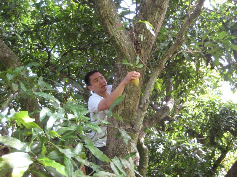 Danny picking mango