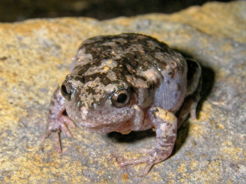 Mimic toadlet or gungan, <i>Uperoleia mimula</i> IMGP0527