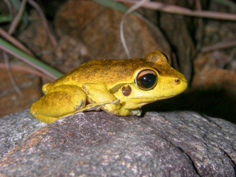 Stony Creek frog, <i>Litoria lesueuri</i> IMGP0536