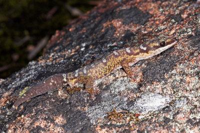 Ocellated velvet gecko oedura monilis _DSC5529