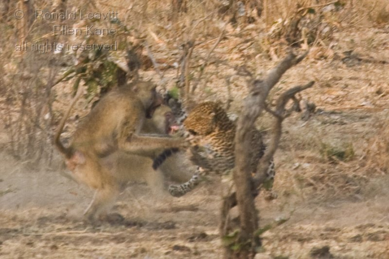 and turns to attack the charging baboons.