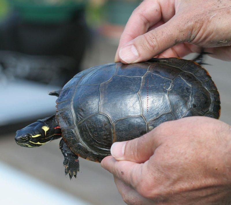 Painted Turtle Markings