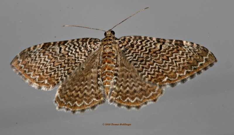 Moth with a Seashell Pattern