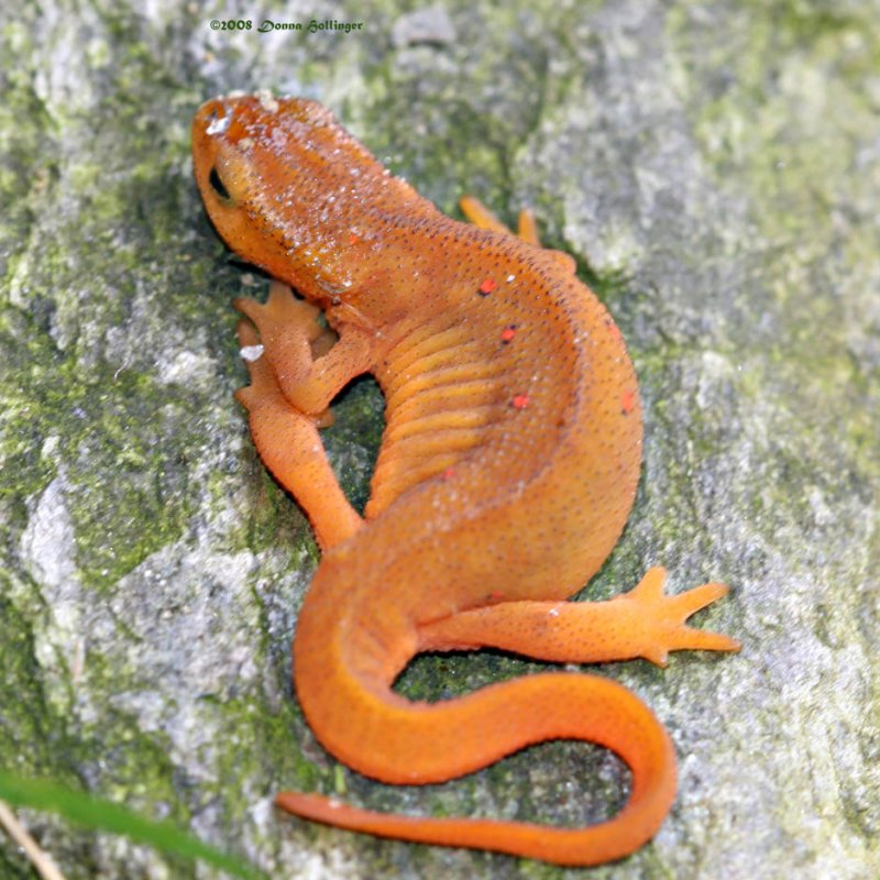 Red Eft Shedding Skin