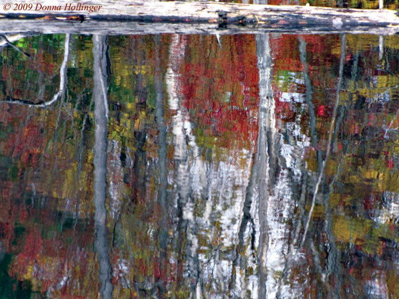 Reflection Of Birches On The Beaver Pond