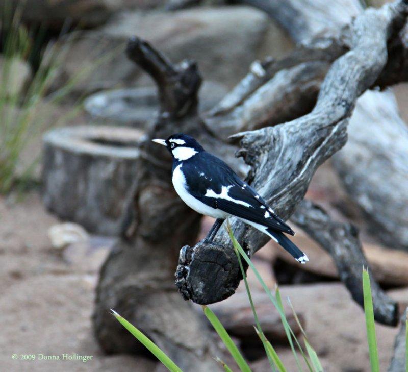 Indigenous Australian Bird at the Safari Park