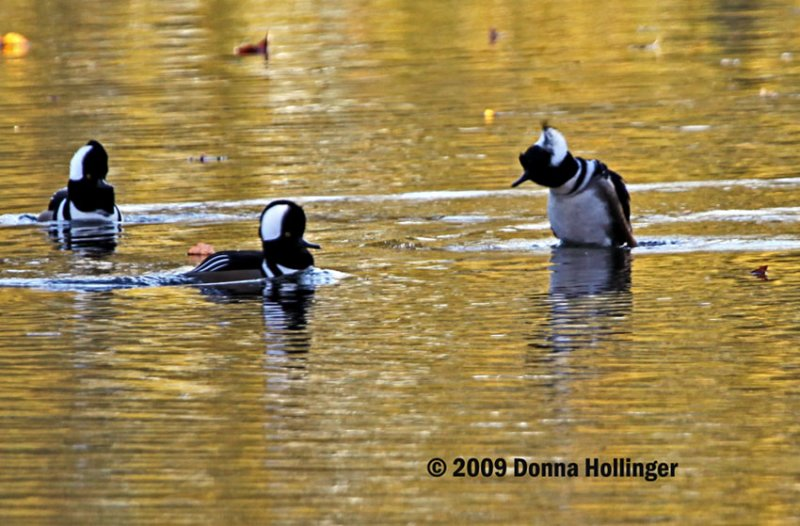 Three Male Hooded Mergansers