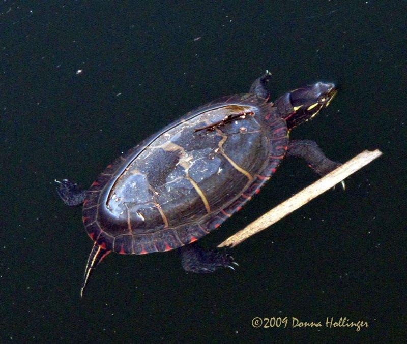 Painted Turtle This Morning