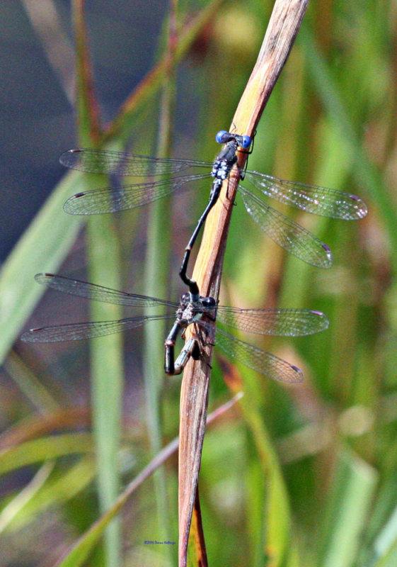 Mating Damselflies  this summer