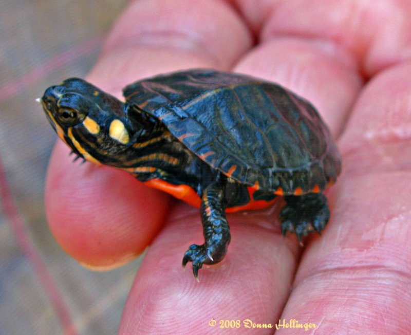 Infant Painted Turtle