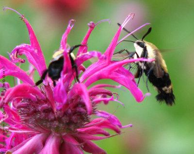Hemaris Thysbe [Hummingbord Moth] in Beebalm
