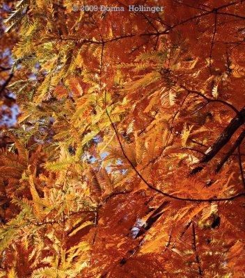 Metasequoia leaves