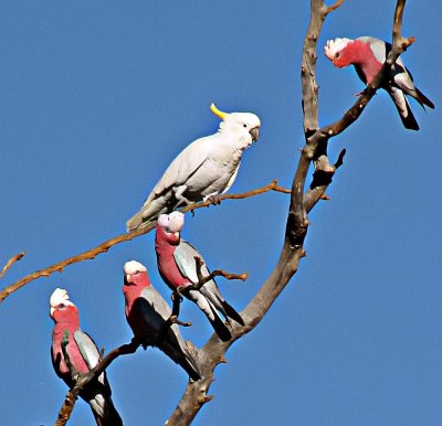 Sulfur Crested Cockatoo and Galahs