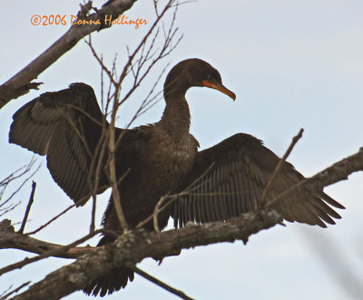 Cormorant Drying out his Wings