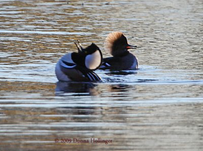 Drinking up (Hooded Mergansers)