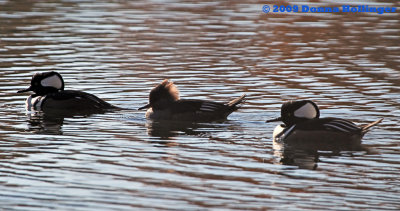 Two Males and one Female Hooded Mergansers