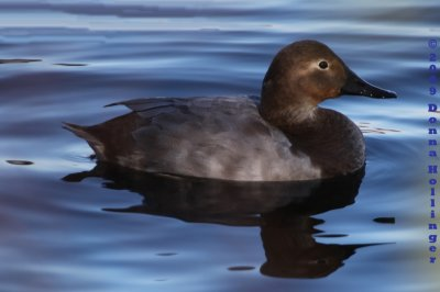 Female Canvasback Duck