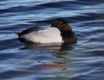 Canvasback Duck Resting
