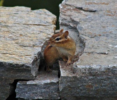 Confused chipmunk