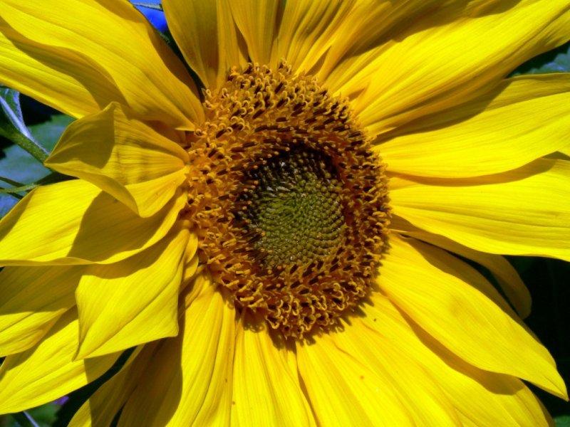 A very pretty sunflower.... :)