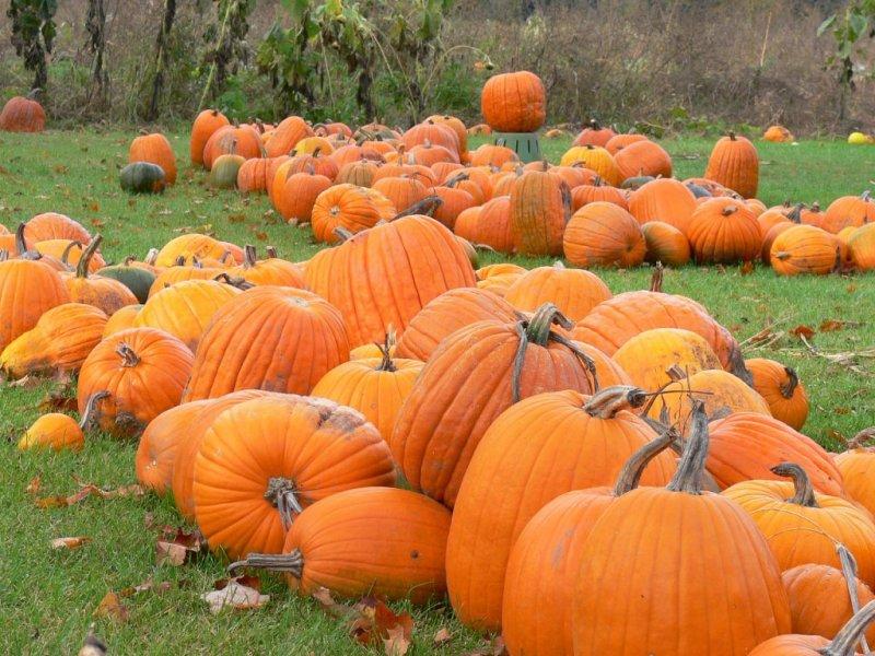 In the pumpkin patch....