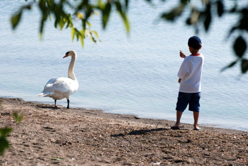 Little boy and the swan...
