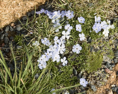Edelweiss.jpg