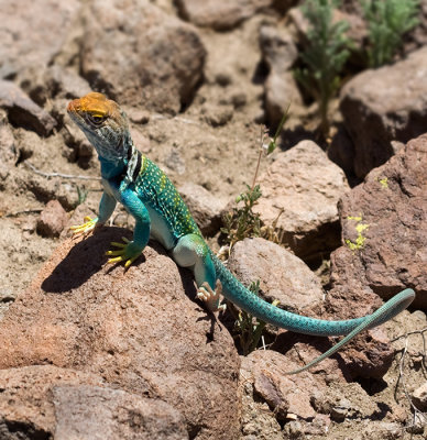 08-06 Collared Lizard 01.JPG