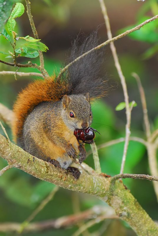Squirrel Eating a Beetle 2