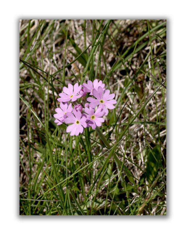 815 Primula farinosa