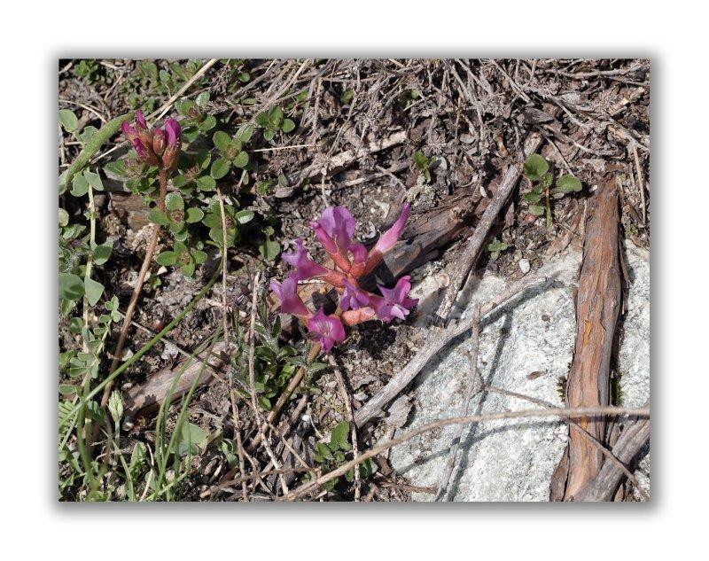 1170 Astragalus leontinus