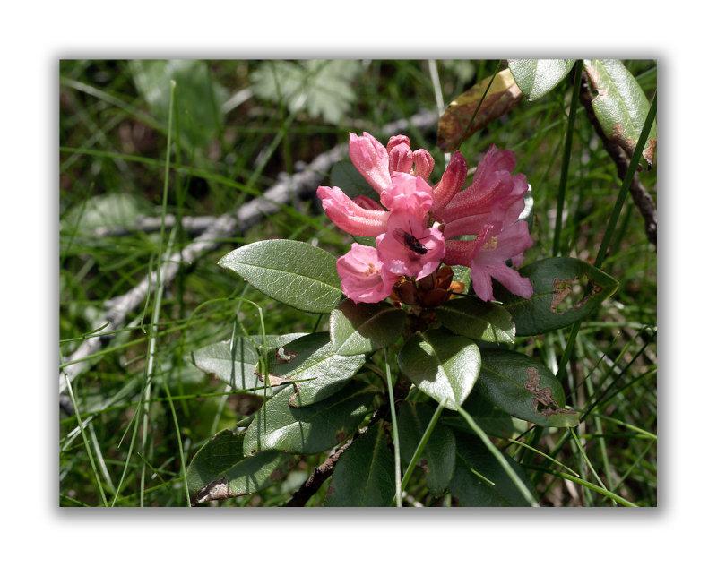 786 Rhododendron ferrugineum