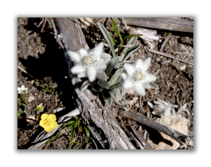 2066 Leontopodium alpinum