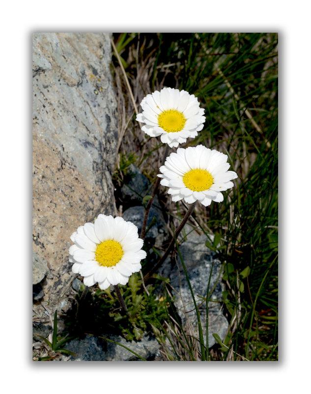 2139 Leucanthemum alpina