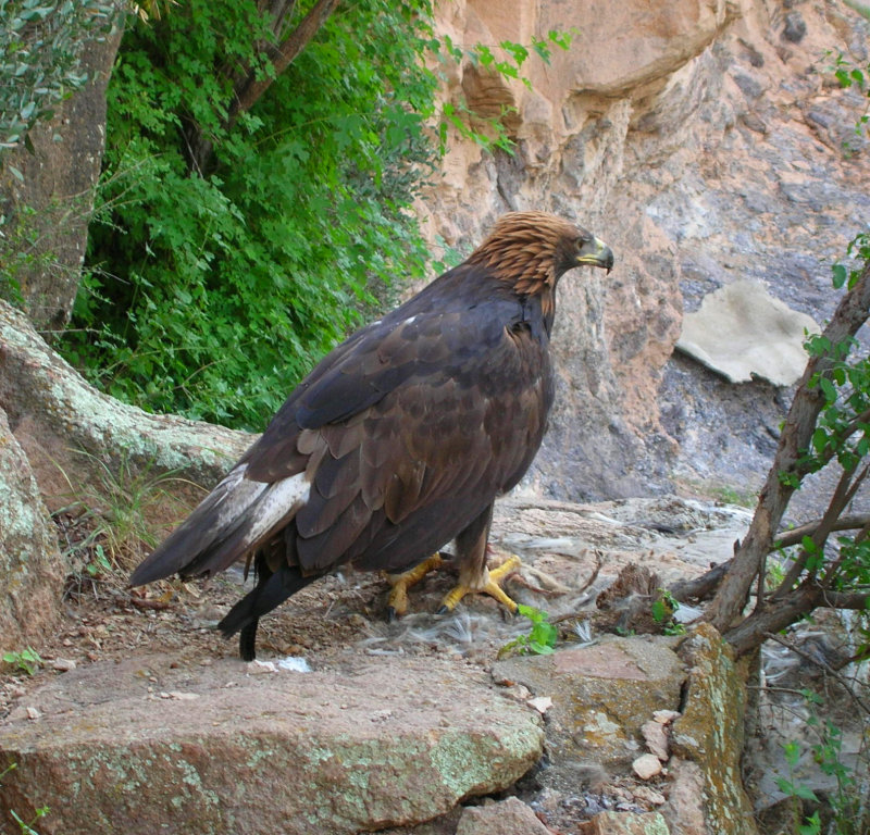 Golden Eagle on High Trail eating a kill.