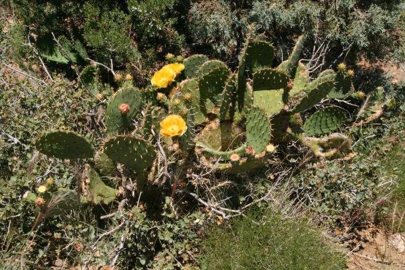 Opuntia engelmannii with large golden flowers