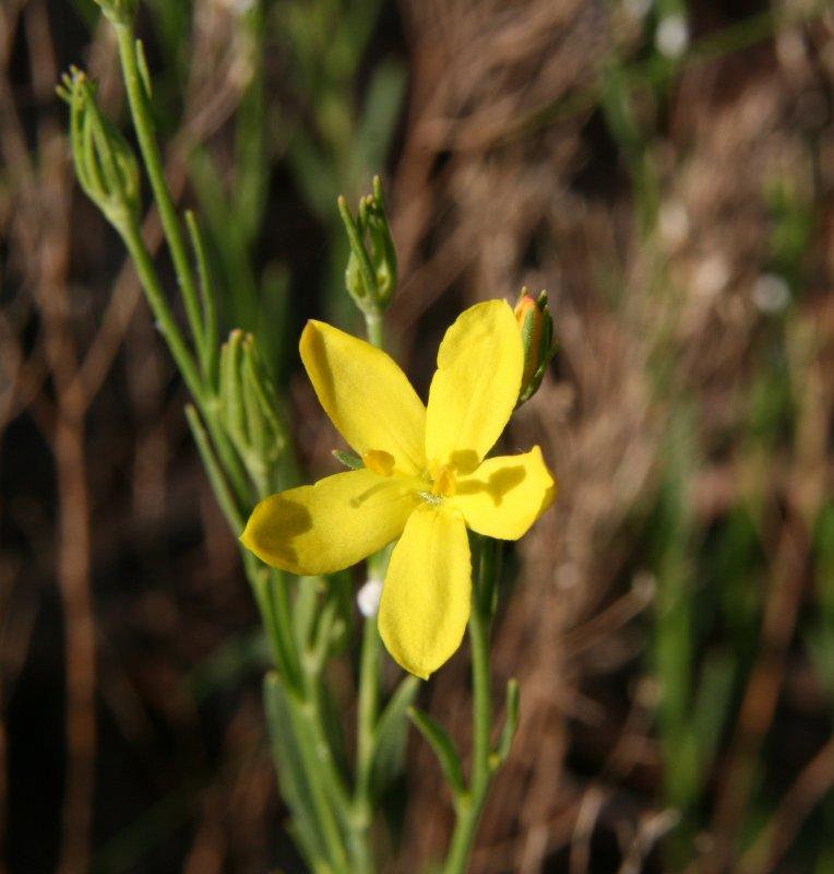 Yellow Menodora - Menodora scabra