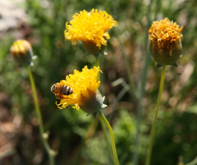 Hopi Tea Greenthread - Thelesperma megapotamicum
