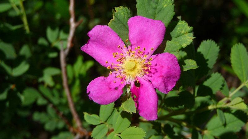 Arizona Rose - Rosa arizonica