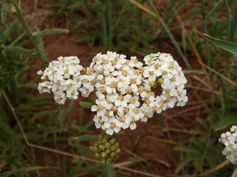 Western Yarrow - Achillea millefolium lanulosa