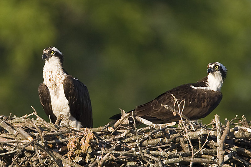 ADULT OSPREYS ON THE NEST - 3 CHICKS ASLEEP OUT OF VIEW