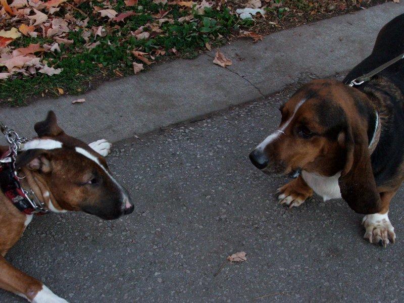 Bull Terrier & Basset Hound